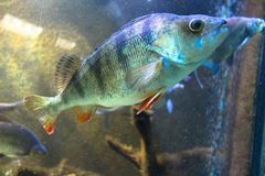 Pescados lindos en el acuario imagen de archivo libre de regalías