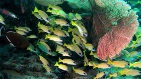 Pescados lucian amarillos brillantes rayados subacuáticos en el fondo del fondo del mar Maldivas almacen de video