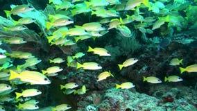 Pescados lucian amarillos brillantes rayados subacuáticos en el fondo del fondo del mar Maldivas metrajes