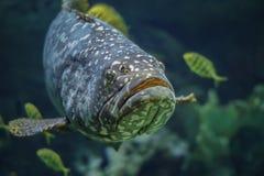 Pescados manchados gigante del mero Fotos de archivo libres de regalías
