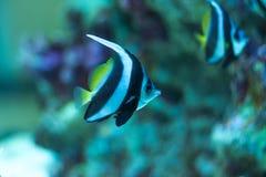 Pescados moros del ídolo Imagen de archivo libre de regalías