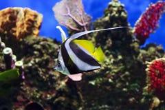 Pescados moros del ídolo Imagen de archivo