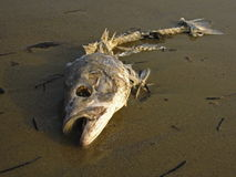 Pescados muertos Fotos de archivo libres de regalías