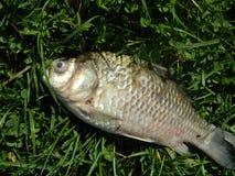 Pescados muertos Fotos de archivo