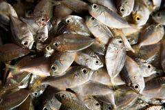 Pescados muertos fotografía de archivo libre de regalías