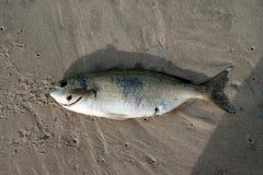 Pescados muertos Fotografía de archivo