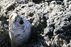 Pescados muertos atascados en huesos de pescados pulverizados Fotografía de archivo libre de regalías