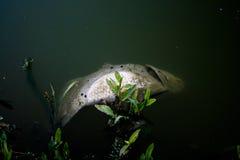 Pescados muertos en agua contaminada Fotos de archivo libres de regalías