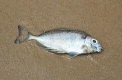 Pescados muertos en la playa Imagen de archivo