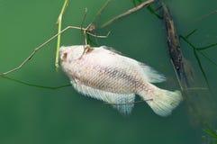 Pescados muertos flotantes Foto de archivo libre de regalías