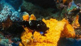 Pescados negros Antennarius Maculatus de la rana, aka Frogfish verrugoso que se sienta en un arrecife de coral, Indonesia imagen de archivo