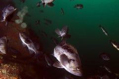 Pescados negros de la roca Imagen de archivo libre de regalías