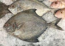 Pescados negros de las japutas en parada del hielo Imágenes de archivo libres de regalías