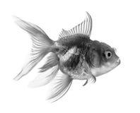 Pescados negros del oro en el fondo blanco Foto de archivo libre de regalías
