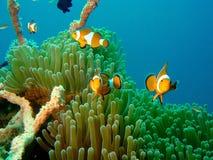 Pescados Nemo del payaso Fotografía de archivo