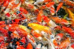 Pescados o carpa o carpa colorida de la suposición, natación de lujo de la carpa en la charca fotos de archivo