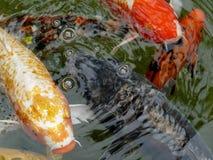 Pescados ornamentales de la carpa del koi Imágenes de archivo libres de regalías