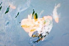 Pescados ornamentales del koi Foto de archivo
