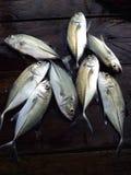 Pescados oscuros de Jack Fotos de archivo libres de regalías