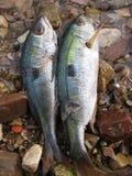 Pescados para el almuerzo Fotografía de archivo libre de regalías