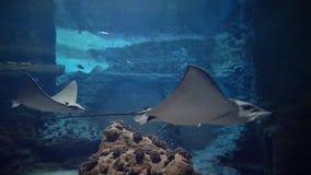 Pescados, pastinacas, animales de mar que nadan en el agua, vida subacuática en parque zoológico almacen de video
