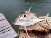 Pescados preciosos/pescados del cuerno Fotografía de archivo