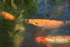Pescados que comen insectos Imagenes de archivo