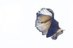 Pescados que luchan Imagen de archivo libre de regalías