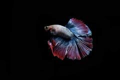 Pescados que luchan Fotografía de archivo