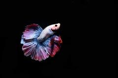 Pescados que luchan Fotos de archivo