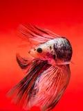 Pescados que luchan Fotografía de archivo libre de regalías