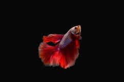 Pescados que luchan Fotos de archivo libres de regalías