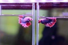 Pescados que luchan coloridos en el tarro para la venta en la tienda de animales Imágenes de archivo libres de regalías