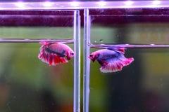 Pescados que luchan coloridos en el tarro para la venta en la tienda de animales Fotos de archivo