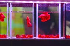 Pescados que luchan coloridos en el tarro para la venta en la tienda de animales Imagenes de archivo