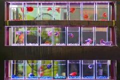 Pescados que luchan coloridos en el tarro para la venta en la tienda de animales Fotografía de archivo