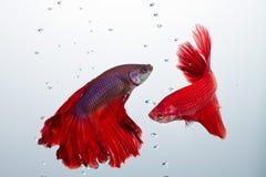 Pescados que luchan del betta rojo Foto de archivo