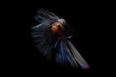 Pescados que luchan en fondo negro Fotos de archivo libres de regalías