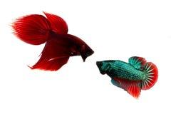 Pescados que luchan siameses Imagenes de archivo