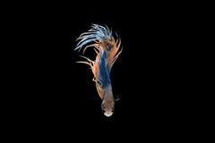 Pescados que luchan siameses, Anaranjado-Amarillo-azules, pescados del betta en b negro Imagen de archivo