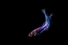 Pescados que luchan siameses azules (splendens de Betta) aislados en negro Fotos de archivo libres de regalías