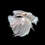 Pescados que luchan siameses blancos Imagen de archivo libre de regalías