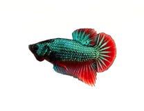 Pescados que luchan siameses coloridos Fotografía de archivo
