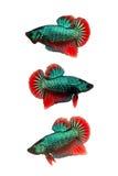 Pescados que luchan siameses coloridos Fotografía de archivo libre de regalías