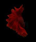 Pescados que luchan siameses de la aleta roja abstracta aislados en backgro negro Fotografía de archivo libre de regalías