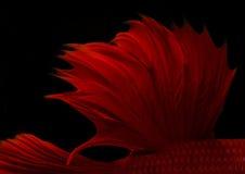 Pescados que luchan siameses de la aleta roja abstracta aislados en backgro negro Imagen de archivo libre de regalías