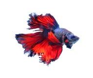 Pescados que luchan siameses de la mariposa roja y azul de la media luna, betta f Imágenes de archivo libres de regalías