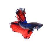 Pescados que luchan siameses de la mariposa roja y azul de la media luna, betta fi Imagen de archivo libre de regalías