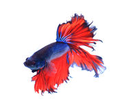 Pescados que luchan siameses de la mariposa roja y azul de la media luna, pescados del betta Fotos de archivo
