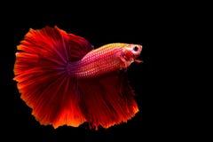 Pescados que luchan siameses de los pescados rojos Imágenes de archivo libres de regalías